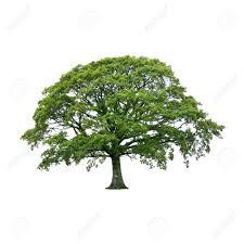 White Oak Leaf Oak Tree In Full Leaf In Summer Isolated Over White Background