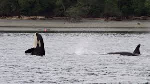 Wildfire Pod Tab by J Pod Orcas Off Whidbey Island King5 Com