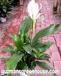 Easy Care Indoor Plants Houseplants In Las Cruces Great Houseplants Guzmansgreenhouse Com