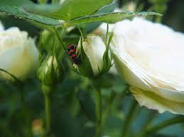 free photo white rose flower garden nature free image on