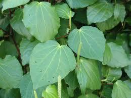native nz plants macropiper excelsum kawakawa pepper tree described and