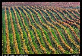 picture photo rows wine grapes fall colors napa valley