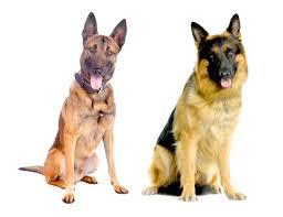 belgian shepherd uk belgian malinois archives dog files