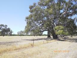 saving the paddock trees connecting country