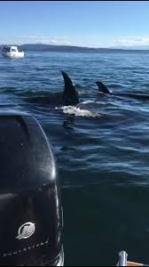 killer whales hunting seal that jumps into boat combined video