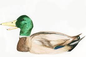 mallard duck the ebestiary