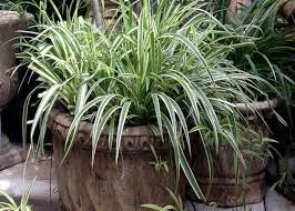 planting ornamental grasses in containers garden club
