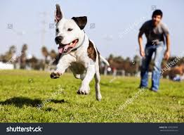 american pitbull terrier jumping pit bull dog midair running after stock photo 135557018 shutterstock