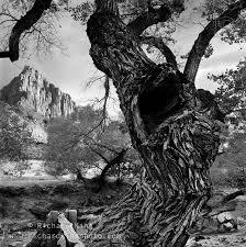 the cottonwood tree black white trees beautiful landscape