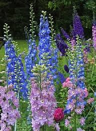 best 25 delphinium flowers ideas on pinterest delphiniums blue