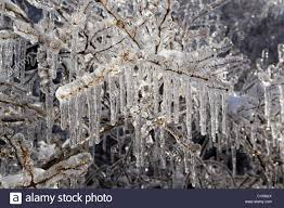 tree branches coated with and icicles after winter