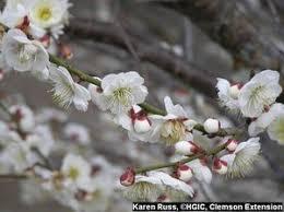 hgic 1018 ornamental cherry plum apricot almond extension