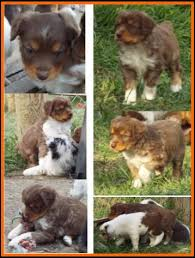 mini australian shepherd 7 weeks litter 2 hip pup 1 blue eyed red tri mini aussie male carries the