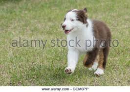 australian shepherd dog puppies australian shepherd puppy red tri 9 weeks australian shepherd