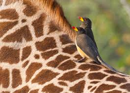 giraffe u2013 tejanimals