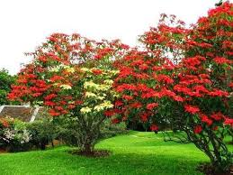 poinsettia tree pin by margaret tilley on garden flowers and gardens