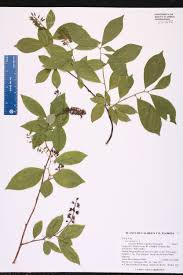 Canopy Synonyms by Itea Virginica Species Page Isb Atlas Of Florida Plants