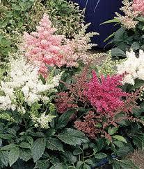 Flowering Shrubs For Partial Sun - partial sun perennial flowers gardening guide