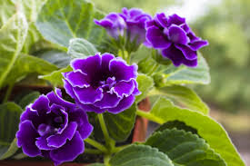 Easy Care Indoor Plants 12 Top Flowering Houseplants For Easy Care Blooms Indoors Here