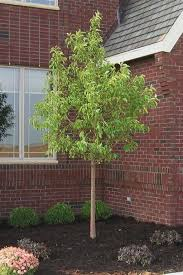34 best crabapple trees for mn images on