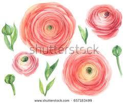 Ranunculus Ranunculus Flowers Set Watercolor Illustration Stock Illustration