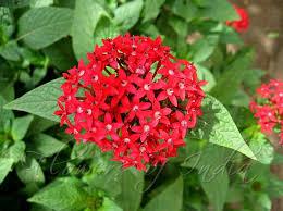 Pentas Flower Pentas Lanceolata Star Cluster