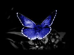 endangered blue butterfly on black background butterfly on a