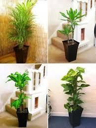 plante bureau 1 large indoor arbre gloss pot bureau maison conservatoire