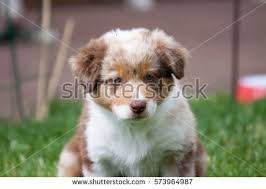 australian shepherd overbite this photo brown alpacas face animal stock photo 367238651