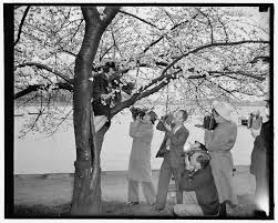 Cherry Blossom Tree Facts by A Focus On Cherry Blossoms For Decades The Blooming Trees Have