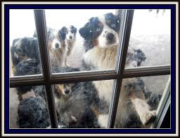 australian shepherd york willow aussie miniature toy australian shepherds for sale mini