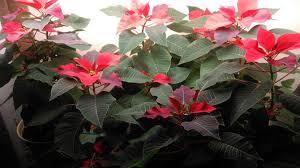 Pointsettia How To Keep Poinsettias Growing To Next Christmas 15 Steps
