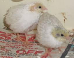 sexing button quail help backyard chickens