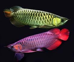 exotic color names stunning and full of color asian arowanas exotic freshwater and