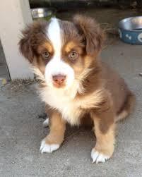 australian shepherd los angeles colorado dog for sale puppies for sale