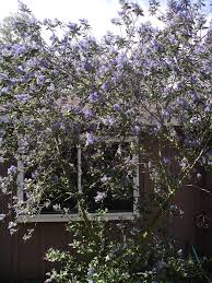 san diego native plant nursery a california native plant garden in san diego county lilacs and
