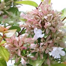 abelia shrubs trees u0026 bushes the home depot