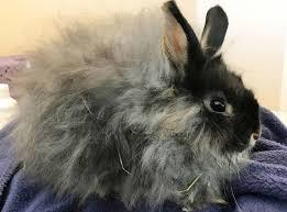 dwarf bunnies lafeber small mammals