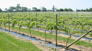 how to build a grape trellis plans how to build a grape trellis