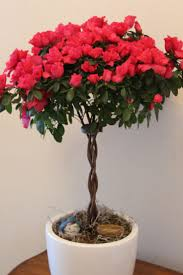 red azalea topiary houseplants beautiful for xmas care tips