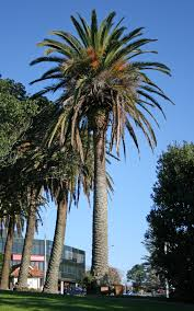 southern california native plants landscaping timeless environments canary island pine tenerifie