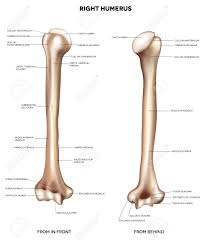 Anatomy Of Human Body Bones Humerus Upper Arm Bone Detailed Medical Illustration From