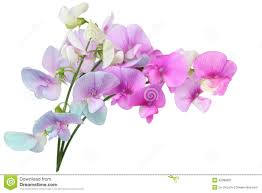 sweet pea flowers sweet pea flowers stock image image of blue 42088607