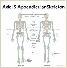 skeletal system anatomy and physiology u2022 nurseslabs