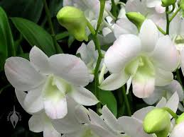 White Dendrobium Orchids Aboutorchids Blog Archive Dendrobiums