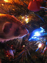 the world u0027s best photos of ferret and xmas flickr hive mind