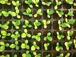 Viroid Diseases In Plants - plant viruses types of transmissions