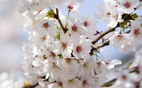 cherry blossoms wallpaper flowers nature wallpapers in jpg format