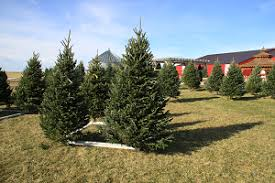 christmas tree sales black friday christmas trees geisler farms growing family fun