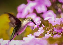 Hummingbird Flowers Hummingbird With Flowers How To Attract Hummingbirds Guaranteed